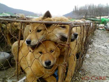 被塞滿在籠子裡,等待被運送販賣宰殺的各種犬隻